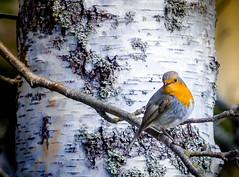 Robin bird - Rdhake - Erithacus rubecula (Lena_CS) Tags: bird nature robin rdhake