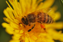 Beeeee (ninayak- Off on Thursdays) Tags: wild flower nature yellow early spring nikon blossom sac may dandelion busy micro april late pollen 60mm nikkor f28 pollination d60