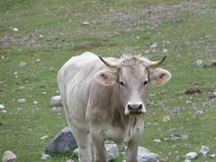 Cow (raquelrpor) Tags: espaa naturaleza verde nature cow spain meadow asturias prado vaca