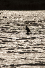Bird sillouette (J_Witham) Tags: bird nature water animal animals photography photo photographer image photos wildlife picture photograph sillouette naturephotography