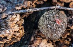 Lampion (sidneyportier) Tags: mushroom f56 lampion paddestoel iso500 lampionplant 1160 nikond90 nikon55300mm