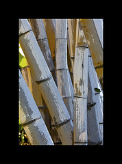 Large Bamboo (Transient Eternal) Tags: plants grass landscape landscapes beige hard woody bamboo pole tropical rod strong grasses tall growing section tropics stalks upward invasive erect clumping cultivated bambusoideae screenlarge