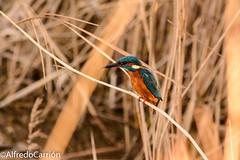 ACP_160108_0038 (alfredocarrin) Tags: fauna de huesca laguna pescador monegros martn alcedo atthis sariena ibrica