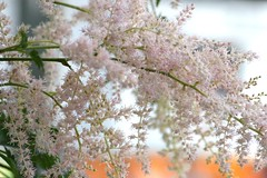 Dreamy Beauty, Replacing Snow (bigbrowneyez) Tags: flowers nature beautiful soft pretty branch sweet bokeh snowy natura romantic dreamy lovely charming fiori blush delicate delightful blushing dreamybeautyreplacingsnow replacingsnow