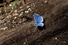 Starry butterfly (Julien Lafon) Tags: wood blue macro nature butterfly earth walk lot rocamadour proxy alzou