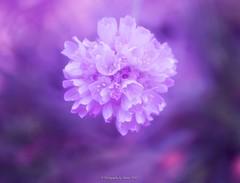 Purple (Sharon Wills) Tags: flowers plants flower macro flora purple mountloftybotanicgardens southaustrralia