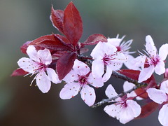 P1020749-flowering plum-O (elisabethgleave) Tags: flowers garden floweringplum