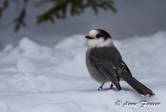 "Just a ""Gray"" kinda day... (Anne Marie Fraser) Tags: snow cute nature grey day jay wildlife gray"