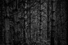forest (alastairwilcock) Tags: tree monochrome woodland trunks