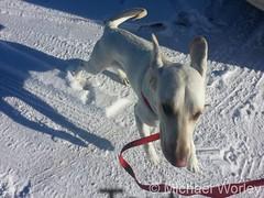 January 1, 2016 - A Thornton dog enjoys a walk in the snow. (Michael Worley)