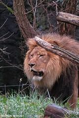 Panthera Leo (brandoncvn72) Tags: seattle nature canon lion bigcat hunter mothernature woodlandparkzoo carnivore pantheraleo kingofbeasts canonsx50hs