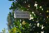 El Niño brought spring one month ahead in 2016 (Palenquero Quercus agrifolia) Tags: 90mm f28 elmarit leicam8 teleelmaritm teleelmarit90mmf28