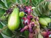 starr-130221-1596-Averrhoa_bilimbi-fruit_and_flowers-Waihee-Maui (Starr Environmental) Tags: averrhoabilimbi