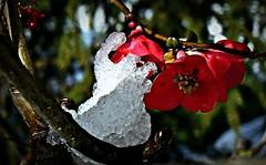 Cristalli... (civetta delle nevi) Tags: neve inverno cristalli