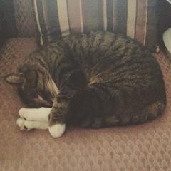 Tig sleep-diving. #cat #cats #catsofinstagram #catstagram (Moto Ergo Sum) Tags: square squareformat reyes iphoneography instagramapp uploaded:by=instagram