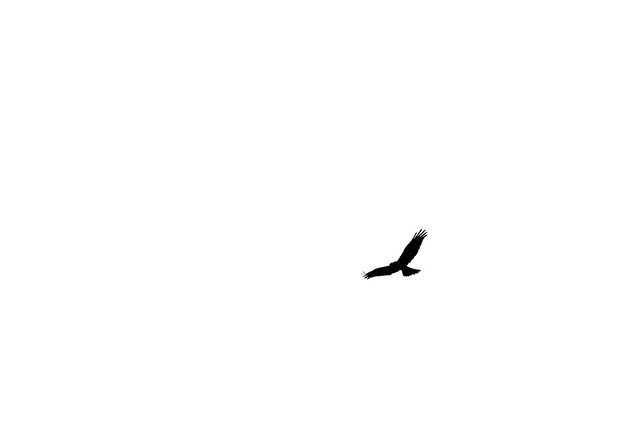 Marsh Harrier Mono