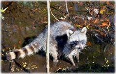 Sawgrass Lake Park - St Petersburg, Florida (lagergrenjan) Tags: park lake st florida petersburg raccoon sawgrass