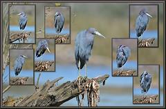 A real poser (WanaM3) Tags: bird heron nature outdoors nikon texas wildlife bayou pasadena canoeing paddling littleblueheron clearlakecity bokey d7100 avianexcellence horsepenbayou wanam3 nikond7100