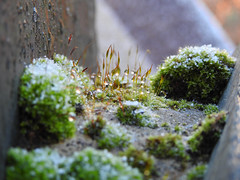 Frost and Dew (uk_dreamer) Tags: ice up field moss frost dof close bokeh depthoffield dew depth bokehwhores