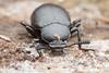 Tenebrionidae. Eucyrtus anthracinus, Kraatz 1880. 20mm (David Ball.) Tags: singapore darklingbeetle tenebrionidae canon270ex