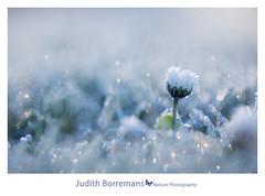 Bevroren madeliefje / Frozen daisy (Judith_Borremans) Tags: flower macro closeup canon frozen bevroren daisy bloem madelief
