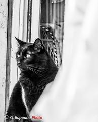 spilblack (rapuanogiovanni) Tags: gatti animali biancoenero gattonero animalidomestici