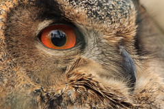 Im Profil (Fotos4RR) Tags: eye beak auge uhu schnabel eurasianeagleowl eagleowl eule europäischeruhu