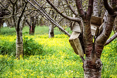Tree carrying wooden crates (Bruce_of_Oz) Tags: cherry blossom kodak voigtlander 400uc bessamatic cherryorchard 1354 dynarex