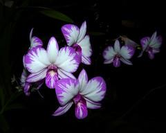the 2016 pacific orchid exposition, Dendrobium Enobi Purple 'Splash' hybrid orchid (nolehace) Tags: sanfrancisco winter plant orchid flower san francisco purple pacific fort mason exposition bloom dendrobium splash hybrid poe 216 enobi sfos nolehace fz35