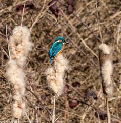 9Q6A8615 (2) (Alinbidford) Tags: kingfisher brandonmarsh alancurtis alinbidford