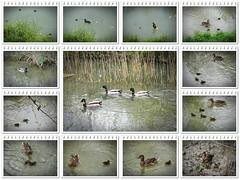 paperini e famiglia (mareblu2013) Tags: uccelli avifauna anatre volatili germani germanireali paperini