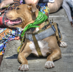 Rescued And Retrained (swong95765) Tags: dog cute animal training canine story servicedog harness rescued abused retrained
