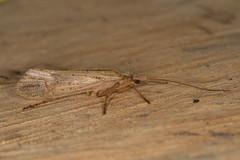 caddisfly (2) (postcardcv) Tags: macro canon eos moth m m3 mpe65 caddisfly eosm3