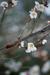 (kenta_sawada6469) Tags: park flowers trees winter plants white plant flower macro tree nature japan japanese ume japaneseapricot