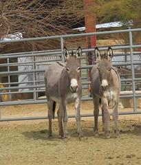 (nevada4949) Tags: burro blm ridgecrest