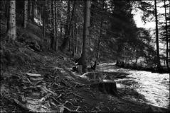 Bachlandschaft (Mickas Photografie) Tags: wasser photos sony alpha m3 fluss wald baum schwarz 6000 weg tanne wurzeln weis ilce baumstumpf mickas mickasphotos