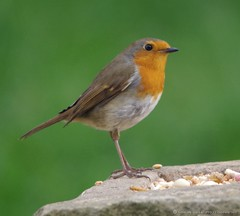 robin  13.05.16 (13) (Simon Dell Photography) Tags: uk red wild england detail bird simon robin garden photography one cool breast bright sheffield best awsome number dell valley wife xxx loved bf gf sute s12 britains hackenthorpe shirebrook uroasian