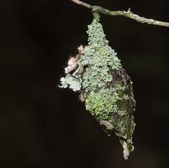 Lichen Decorated Home (Bonnie Ott) Tags: cocoon lichen bonniecoatesott