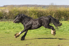 IMG_1353 (Kev Gregory (General)) Tags: horse happy jump play harry gregory kev charge gallop