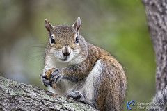 Feeding Squirrel Looks Your Way (Kenneth Keifer) Tags: tree cute nature animal mammal rodent furry squirrel branch tali feeding wildlife ground bark stare nut nibbling nibbles rodentia graysquirrel greysquirrel bushy easterngraysquirrel botheyes eastergreysquirrell