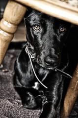 Andy 2.0 (nilarii) Tags: portrait dog black dogs indoor hund efex nikond5000