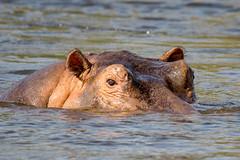Hippopotamus Mother 2 (ScottMcQueen) Tags: africa victoriafalls hippopotamus zambia zambezi travelphotography yolo guidedtour zambeziriver gadventures