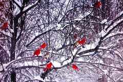 A Few Cardinals (Dino Langis) Tags: winter snow birds cardinals awardtree saariysqualitypictures theoriginalgoldseal