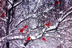 A Few Cardinals (Dino Langis) Tags: winter snow birds cardinals awardtree saariysqualitypictures theoriginalgoldseal