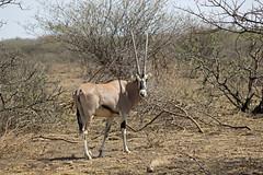 181. East African Oryx [Oryx beisa], Awash National Park, Oromia Region, Ethiopia (Jay Ramji's Travels) Tags: africa antelope ethiopia äthiopien awashnationalpark oryxbeisa eastafricanoryx oromiaregion