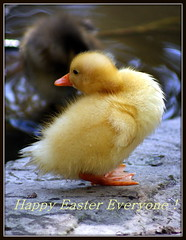 Best Easter Wishes (* RICHARD M (Over 6 million views)) Tags: cute nature birds easter wildlife duckling ducks chicks ornithology southport merseyside happyeaster sefton eastercard easterwishes happyeastereveryone churchrown southportsbotanicgardens