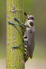 Giant Metallic Ceiba Borer (Euchroma gigantea) (Rodrigo Conte) Tags: wood brazil brasil giant insect metallic beetle boring inseto brasilia borer ceiba gigantea insecta besouro buprestidae euchroma euchromagigantea chrysochroinae