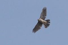 HNS_1080 Havik : Autour des palombes : Accipiter gentilis : Habicht : Northern Goshawk