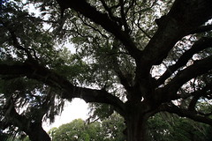 Canon206491 (godrudy6661) Tags: neworleans audubonpark treeoflife oaktrees