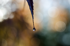 Autumn Drop... (glendamaree) Tags: autumn nature waterdrop bokeh nikond7000